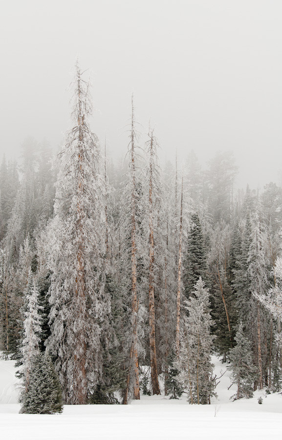 Frozen Fir Trees, Utah