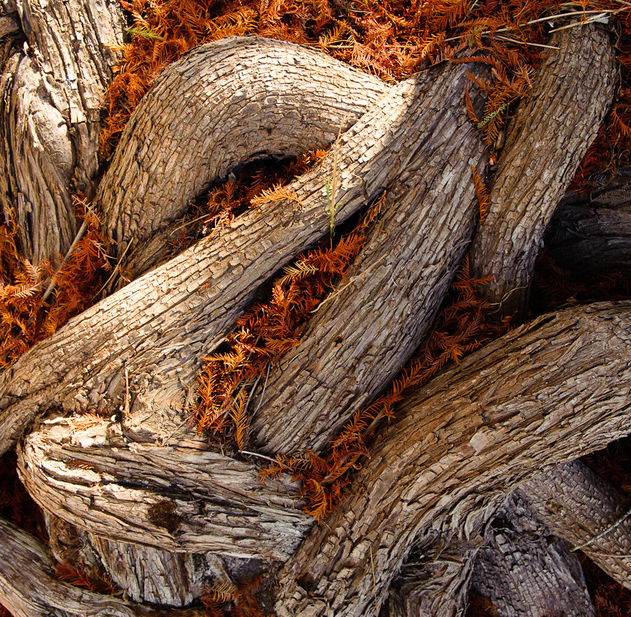 Cypress Roots and Needles, Pedernales River