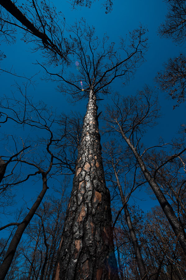 Blackened Pines, Bastrop State Park