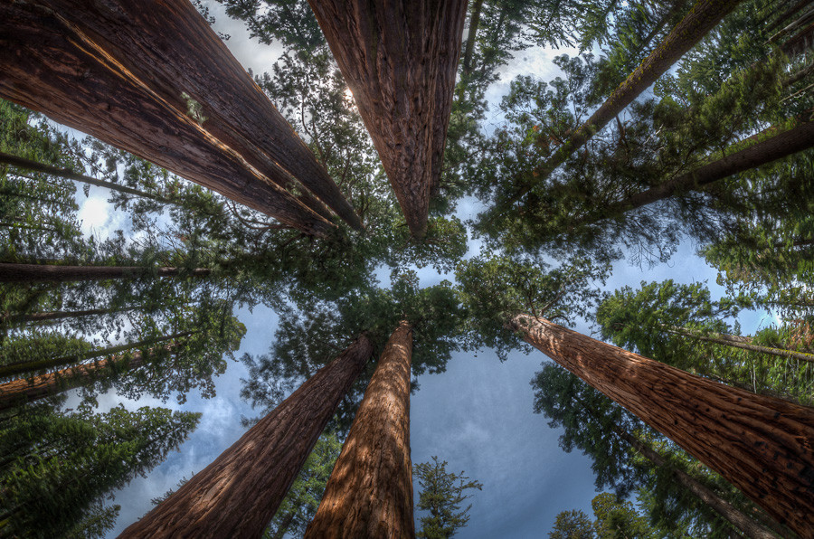 Overhead, Sequoias National Park